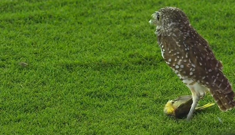 animal-diferente-acompanhou-do-gramado-jogo-da-major-league-soccer-Futebol-Latino-24-09